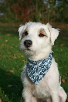 Wired Haired White Parson  Russell Terrier