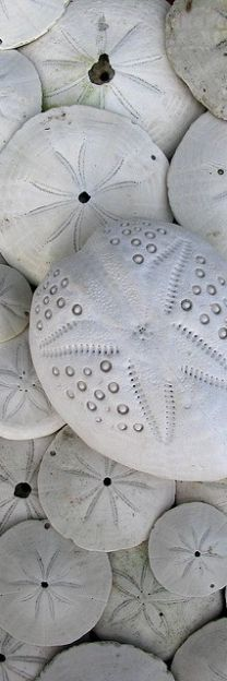 Sand dollar/ sea star
