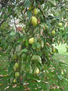 Sweet Lime(mosambi) , Find Complete Details about Sweet Lime(mosambi),Citrus Fruits from Fresh Citrus Fruit Supplier or Manufacturer-ALAM GLOBAL EXIM Citrus Trees, Fruit Trees, Trees To Plant, Key Lime Tree, Tomato Trellis, Sweet Lime, Der Plan, Avocado Tree, Garden Trees