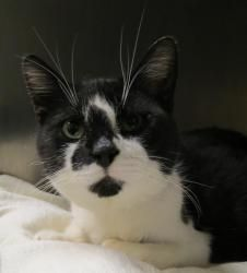 Sylvester is an adoptable Domestic Short Hair-Black And White Cat in Henderson, KY. I am ready for my new home! Please come save me today! My adoption fee includes ALL of the following: Spay/Neuter, M...