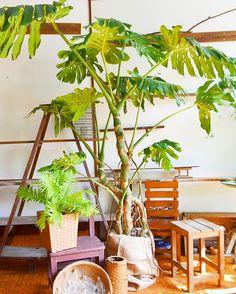リビングのシンボルツリーへ。ご依頼いただいたモンステラの巨木(Kitowa)H29.9月
