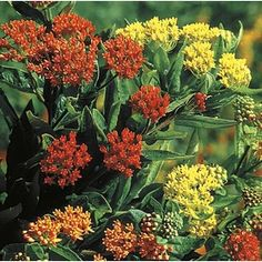 �2.5-Quart Butterfly Weed (L5647)