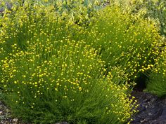 A mound-forming shrub with fine-textured foliage and yellow, button-like flowers, lavender cotton looks great in Mediterranean gardens and as an edging. Grow in a sunny well-drained spot.