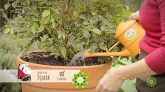 Como cultivar frutíferas em vaso - Dona Flor