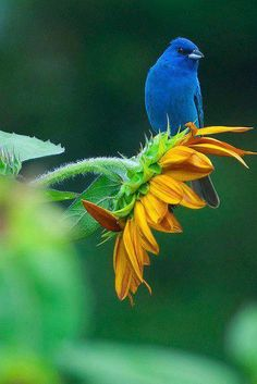 Indigo Bunting perched on Sunflower