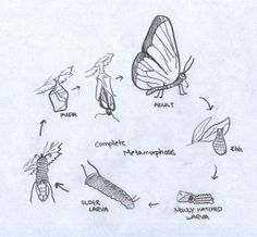 This is a picture of the butterfly life cycle. I chose this picture because it shows how things keep growing and developing until they reach adult stage during that period they acquire adult characteristics