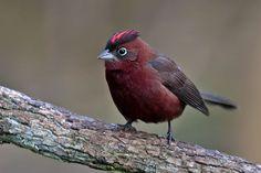 Photos of Tanagers / Fruteros - Thraupidae - Argentina