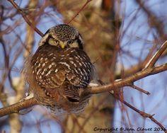Backward facing northern hawk-owl (Surnia ulula) photo by Jean Clavet, Quebec, Canada.