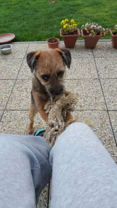 Play with me!!!!  Keshu / Border Terrier
