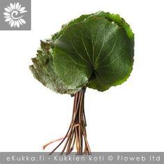 Peiponkaali, Galax urceolata Buxus, Cabbage, Vegetables, Food, Essen, Cabbages, Vegetable Recipes, Meals, Yemek