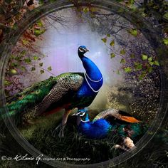 © Mélanie G. / MySweetDarkness This image belongs to Mélanie G. / MySweetDarkness and may not be used in ANY way without my written permission. No copyi. Beautiful Birds, Beautiful World, Peacock Pictures, Animal Skeletons, Art Basics, Stained Glass Birds, Peacock Art, Indian Gods, Rangoli Designs