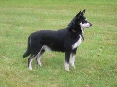 A pretty Lapponian Herder black and white dog  The Lapponian herder (Lapinporokoira or Lapp Reindeer dog) is a breed of dog from Finland, one of three Lapphund breeds developed from a type of dog used by the Sami people for herding and guarding their reindeer.
