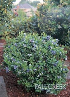 Wild Lowbush Blueberries work well in acidic soil next to pine trees and are safe to plant over septic fields