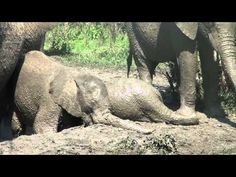 Fun in Hluhluwe Umfolozi mud bath with starring role for baby elephant. Be sure to watch to the end!!