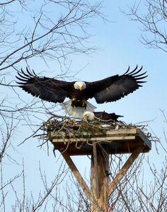 Image result for bald eagle mantling with prey