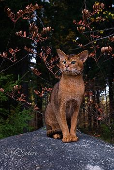 abyssinian cat COME BACK
