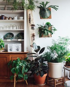 """Loving these moody vibes over at our pop-up shop. This photo also does a good job of contrasting the """"staghorn"""" and """"moosehorn"""" ferns, nicknames that are sometimes used interchangeably. Both ferns are members of the Platycerium genus, but whereas the staghorn, below, has easy to distinguish """"antler"""" and """"shield"""" fronds, the moosehorn, above, has a larger shield frond which splits into antler-like shapes on top. Both of these plants, in their native homes, get HUGE! We have these mounted in…"""