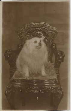 POMERANIAN SPITZ REAL PHOTOGRPHIC DOG POSTCARD ELITE STUDIOS PLYMOUTH