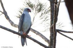 Grey-headed Goshawk (Accipiter poliocephalus) A bird on a branch