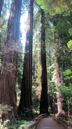 Redwoods- I'd like to get myself over to California one of these days and see these in real life! My son told me they're phenomenal