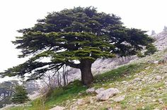 Cedar of Lebanon (BiblePlaces.com)