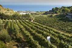 A view of the vines in the Alta Alella vineyard with the sea in the distance…