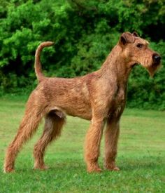 Irish Terrier -hypoallergetic. Scottie's are cute, but I hold irish blood.