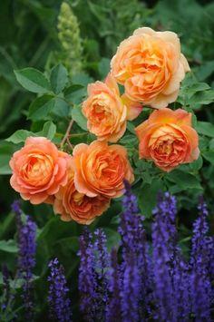"""Lady of Shalott - David Austin English Rose"" ❤️ brings to mind my favorite Waterhouse piece."
