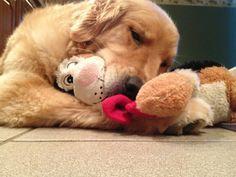Goldens love their cuddlies