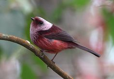 pink headed warbler - Google Search