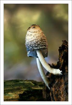 *Fungi - Coprinus Comatus