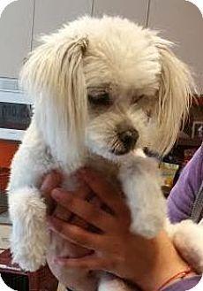 Westminster, CA - Maltese Mix. Meet Johnny Cash, a dog for adoption. http://www.adoptapet.com/pet/13315138-westminster-california-maltese-mix