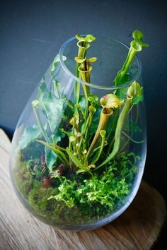 Carnivorous terrarium small enough for a desktop or windowsill. Create a gorgeous terrarium from pitcher plants, venus fly traps and other colorful carnivorous plant varieties @ www.containerwatergardens.net/create-fascinating-carnivorous-terrarium/
