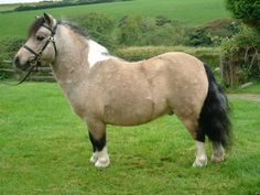 Well now, isn't he stout and cute! Quakers Sorrel - Shetland Pony stallion