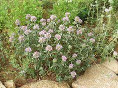Monardella villosa for herb garden. Mint family, aromatic. Little water, full sun, excellent drainage.