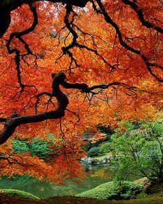 Fall in Japanese Maple, Portland Japanese Garden, Oregon, United States