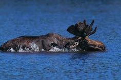 Boundary Waters--on one trip a swimming moose got too close for my comfort.