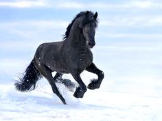 black horse in the snow