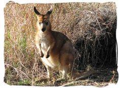 The Amazing Australian Animals of Kangaroo Island