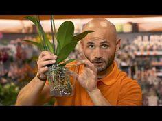Come prendersi cura di un'orchidea - YouTube