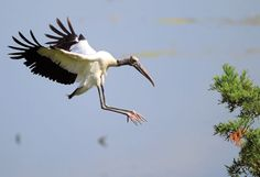 Adult Wood Stork in Georgia. No longer considered at risk of extinction, but still considered a threatened species. June, It's been noted that the human population is on the rise again. Live Picture, Picture Story, Stork Bird, Making A Wedding Dress, World Photo, Mans Best Friend, Beautiful Birds, Photo Galleries, Cute Animals