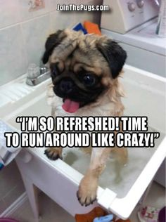 Our First Throwback Thursday - Join the Pugs .beyond true for pugs Cute Pugs, Cute Puppies, Dogs And Puppies, Doggies, Black Pug Puppies, Funny Dogs, Funny Animals, Cute Animals, Crazy Animals