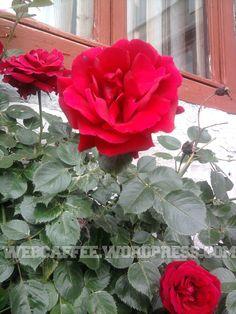 trandafir5