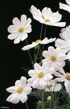 Garden Cosmos Cosmos bipinnatus 'Sonata White' : HGTV Gardens