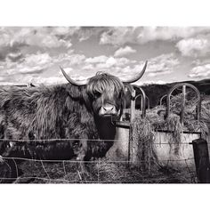 #highlandcows #fluffy #cute #beautiful #animals #scottishborders #blackandwhite #contrast #igmasters #instagood #instanature #horns #skyporn #chassingessence #igersscots #countryside