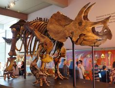 Which Dinosaurs Once Lived in Your State? - Triceratops skeleton at the Los Angeles Natural History Museum. Dinosaur Facts, Real Dinosaur, Dinosaur Skeleton, Dinosaur Bones, Dinosaur Fossils, The Good Dinosaur, Tyrannosaurus, Reptiles, Mammals