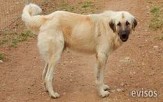 Perros Pastor de Anatolia  Venta de cachorros Pastor de Anatolia excelentes guardianes para ranchos, casas fabricas etc. los ...  http://aguascalientes-city.evisos.com.mx/perros-pastor-de-anatolia-id-595772