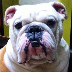 Capo El Bulldog Venezuela