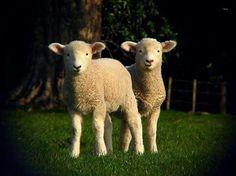 bah lambs