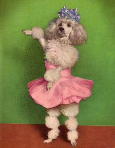 A poodle in a tiara and a pink tutu. It doesn't get any more camp than this. Small Poodle, Pink Poodle, French Dogs, French Poodles, Kitsch, Tea Cup Poodle, Oui Oui, Kawaii, Cute Dogs
